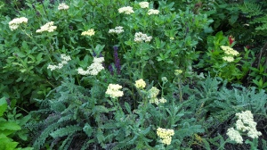 Yarrow, surviving in my garden despite the clay soil.